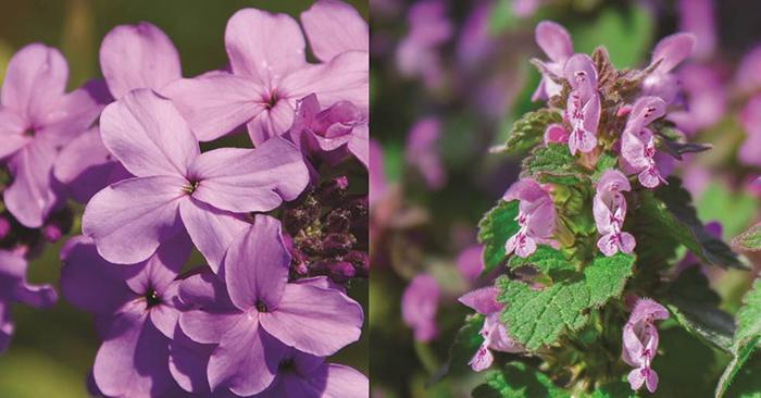 Les fleurs du mois de mai – Julienne des dames et Lamier maculé