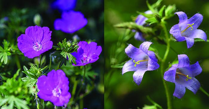 Les fleurs du mois de juillet – Géranium sanguin et Campanule gantelée
