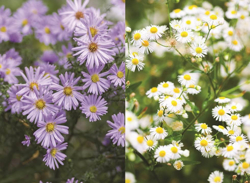 Fleurs du mois d'octobre – Aster de Nouvelle-Angleterre et Boltonia faux aster
