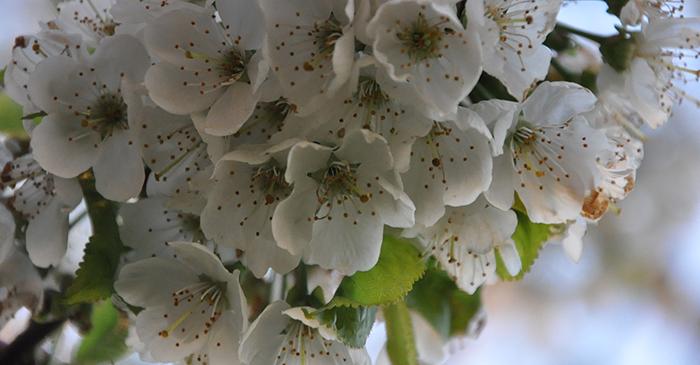 Arbres (fruitier) au printemps – plus qu'un régal pour les yeux